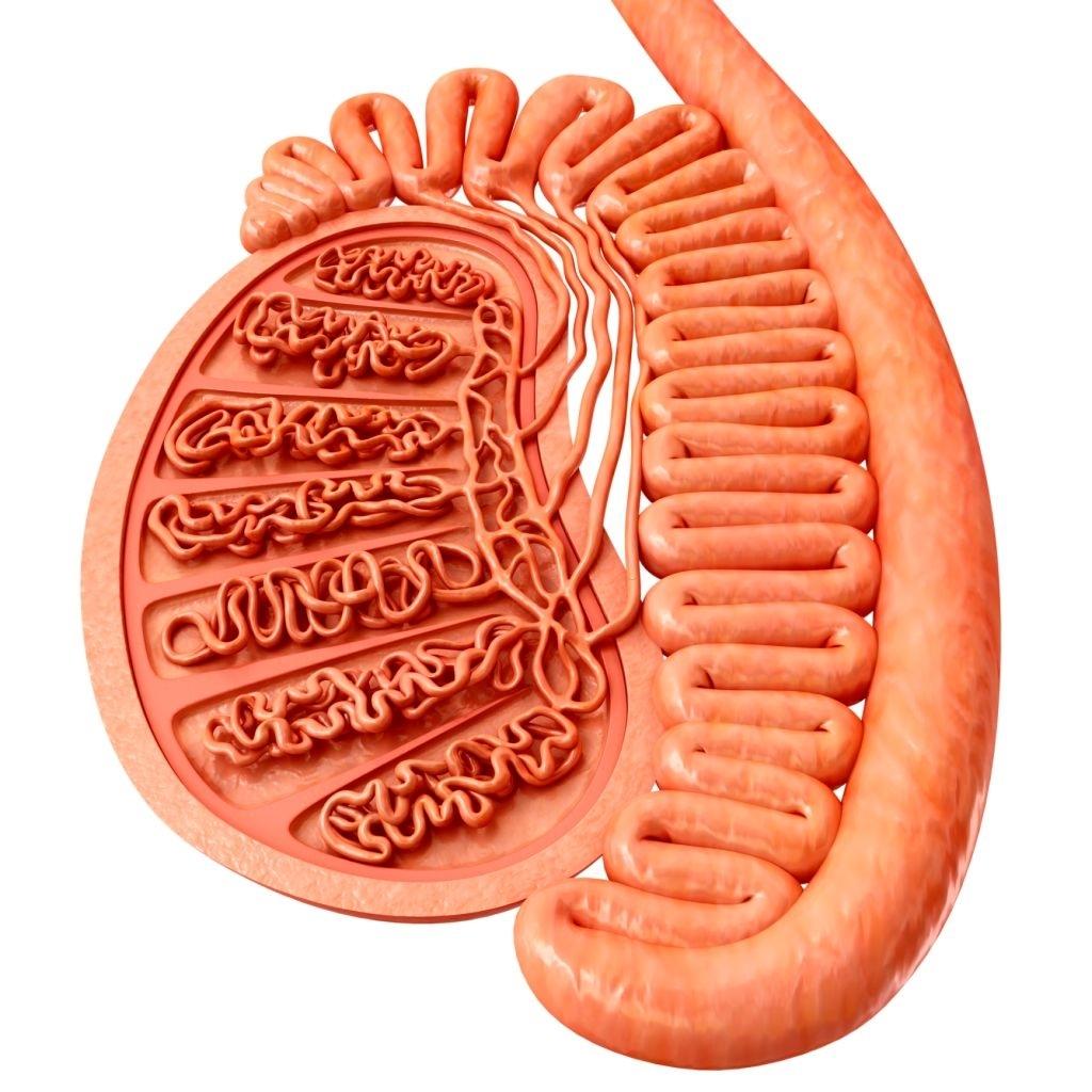 Illustration of male testis anatomy.